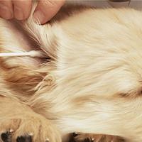 你还在拿棉签给狗狗掏耳朵吗?快住手吧!