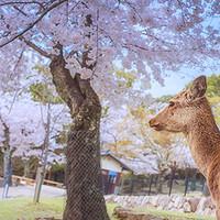 5000全包:樱花季7天6夜日本关西独行侠之旅