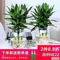 水培植物玻璃瓶观音竹富贵竹莲花竹办公室桌面净化空气小盆栽