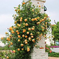 藤本月季庭院花园攀援花卉大花蔷薇盆栽月季玫瑰大苗屋檐的花园