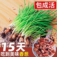 四季小香葱种子种头苗葱种孑小葱种籽红葱头红头阳台蔬菜盆栽火葱