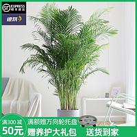 芳然散尾葵盆栽大型北欧绿植室内客厅办公室吸甲醛网红植物凤尾竹