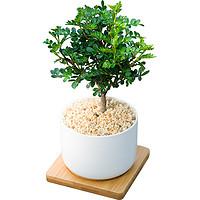 mini胡椒木清香 ins风小盆栽北欧四季绿植办公室内桌面净化空气树