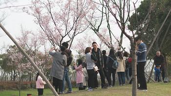 上海游记系列 篇二:#2017春花大赏#上海顾村公园 樱花节 游玩攻略