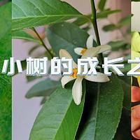 历时一年,记录种植一颗柠檬树的心路历程。