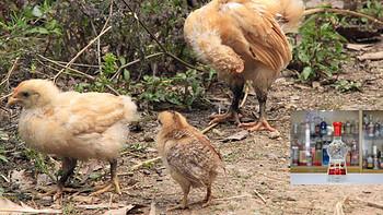 看,这里有只大肉鸡---618入 558ml 52度 普剑-2020-07