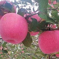 认准果子成熟时间,被坑几率减少一半!关于洛川苹果你需要知道的知识点