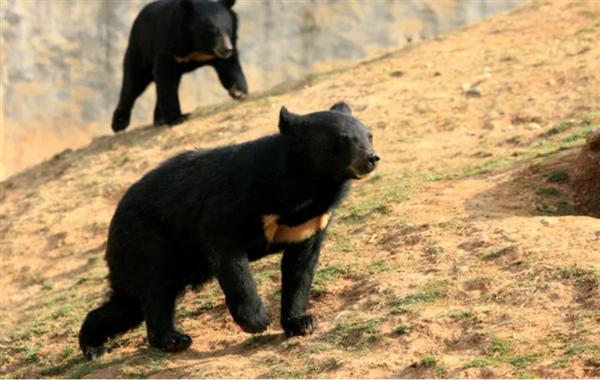 野生动物园饲养员被熊攻击:遇到熊时 如何保护自己?