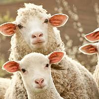 天寒食羊肉!超详细的分类羊肉选购指南(附B站相关美食教学推荐)