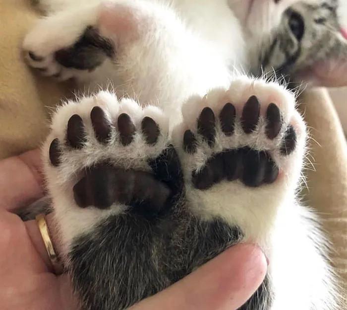 """""""我家猫有32个脚趾,多趾多福!"""""""
