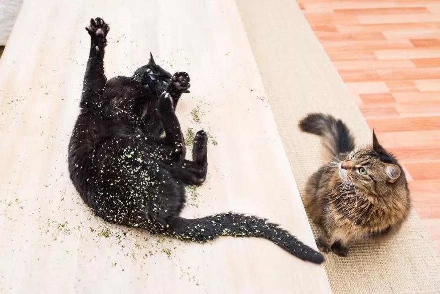 对猫薄荷无感的猫不快乐?来试试这些,猫:快给爷整点!
