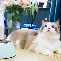 软便、不消化?猫咪玻璃胃,试试三只小宠无谷肠胃养护猫粮