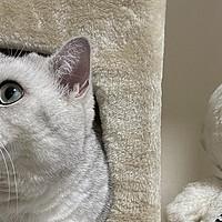 买猫攻略丨如何花500块淘到一只纯种的银渐层?