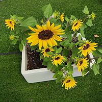 露台种植经验 篇三:露台种花种菜的经验总结